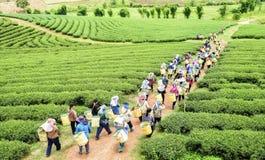 Folla della foglia di tè di raccolto della raccoglitrice del tè sulla piantagione Fotografia Stock Libera da Diritti