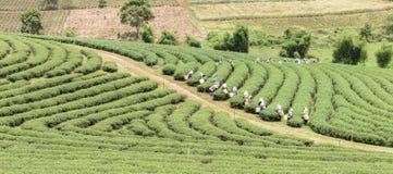 Folla della foglia di tè di raccolto della raccoglitrice del tè sulla piantagione Immagini Stock Libere da Diritti