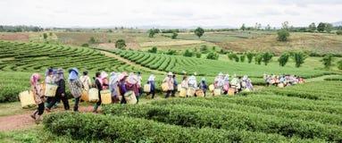 Folla della foglia di tè di raccolto della raccoglitrice del tè sulla piantagione, Chiang Rai, Immagine Stock Libera da Diritti