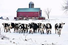 Folla delle mucche Fotografia Stock Libera da Diritti