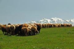 folla delle pecore Fotografia Stock