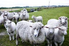 Folla delle pecore Immagini Stock
