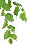 follaje Árbol de olmo con las hojas verdes Isolatedl Foto de archivo