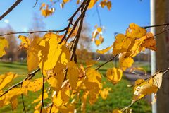 Follaje amarilleado primer, follaje del abedul amarilleado fotografía de archivo