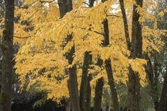 Follaje amarillo de oro del árbol de la caída Fotografía de archivo