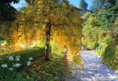 Follaje amarillo de oro que llora en otoño Imagenes de archivo