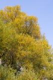 Follaje amarillo del árbol Imagen de archivo