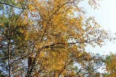 Follaje amarillo del abedul Foto de archivo libre de regalías