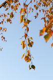 Follaje amarillo, otoño Imagenes de archivo