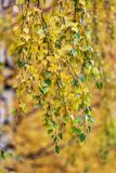 Follaje amarillo y verde del abedul Fotografía de archivo libre de regalías