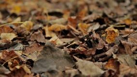 Follaje caido, otoño Ciérrese para arriba, tiro horizontal del resbalador almacen de video