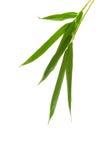 Follaje de bambú del zen aislado sobre blanco Fotos de archivo libres de regalías