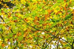Follaje de la haya del otoño Imagenes de archivo