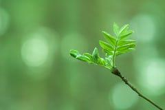 Follaje de la primavera del serbal Imagen de archivo libre de regalías
