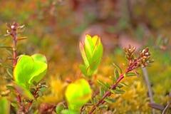 Follaje de la primavera en macro polar de los árboles de abedul Imágenes de archivo libres de regalías