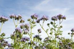 Follaje de Lila con las abejas contra el cielo azul Fotografía de archivo libre de regalías