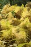 Follaje de oro de helechos hayscented en el hueco de Bigelow, Connecticu Fotos de archivo