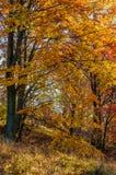 Follaje de oro hermoso el día soleado en bosque Fotos de archivo