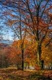 Follaje de oro hermoso el día soleado en bosque Imagen de archivo