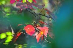 Follaje de otoño Autumn Leaves Close Up Background Fotos de archivo libres de regalías