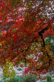 Follaje llamativo del arce rojo en Tejas. Imagen de archivo