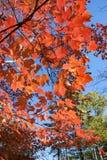 Follaje de otoño rojo contra el cielo de Big Blue foto de archivo