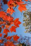 Follaje de otoño rojo contra el cielo de Big Blue fotos de archivo