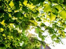 Follaje de un árbol de tilo en luz trasera Imagen de archivo