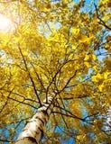 Follaje del árbol de abedul en luz de la mañana Imagen de archivo libre de regalías