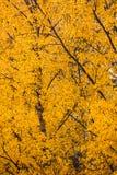 Follaje del abedul amarillo en el otoño Imagen de archivo