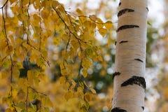 Follaje del abedul en otoño Fotos de archivo