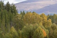 Follaje del otoño de amarillos y de rojos durante otoño en los cuarzos ahumados NP, Escocia foto de archivo
