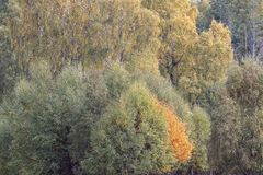 Follaje del otoño de amarillos y de rojos durante otoño en los cuarzos ahumados NP, Escocia fotos de archivo