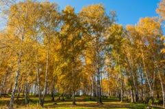 Follaje del otoño de la arboleda del abedul Imagenes de archivo
