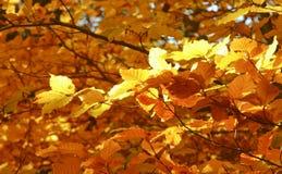 Follaje del otoño de Yelow Imagen de archivo libre de regalías
