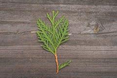 Follaje del Thuja en el fondo de madera Foto de archivo libre de regalías
