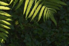 Follaje del verde de la hoja del helecho un fondo natural de la planta en la forma o Fotos de archivo
