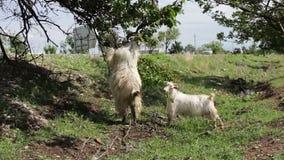 Follaje divertido de la consumición de las cabras del soporte del árbol en las piernas traseras cerca de Tbilisi, Georgia almacen de video