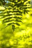 follaje en rayos brillantes del sol Fotos de archivo libres de regalías