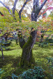 Follaje enorme del árbol de arce japonés durante otoño en un jardín en Kyoto, Japón Imagen de archivo libre de regalías