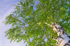 Follaje enorme del abedul del verano. Fondos de la naturaleza Foto de archivo