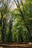 Follaje enorme, verde en el bosque del verano crimeo, bosque de la haya imagen de archivo libre de regalías