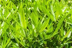 Follaje fresco verde Imagenes de archivo