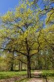 Follaje joven de la primavera en un roble Foto de archivo libre de regalías