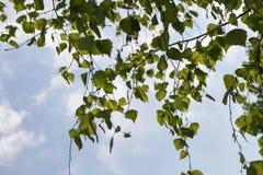 Follaje joven del abedul de la primavera Imagen de archivo libre de regalías