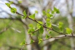 Follaje joven en un árbol de abedul Foto de archivo libre de regalías
