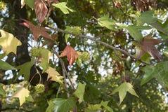 Follaje multicolor del árbol del styraciflua del liquidámbar imagenes de archivo