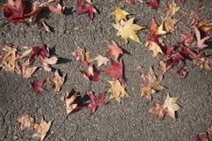 Follaje multicolor del árbol del styraciflua del liquidámbar imágenes de archivo libres de regalías
