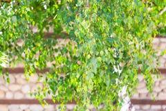 Follaje, ramas del árbol de abedul y fondo de la pared de piedra Imágenes de archivo libres de regalías