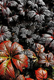 Follaje - Rodgersia Podophylla foto de archivo libre de regalías